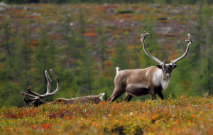 Quebec Caribou Hunt